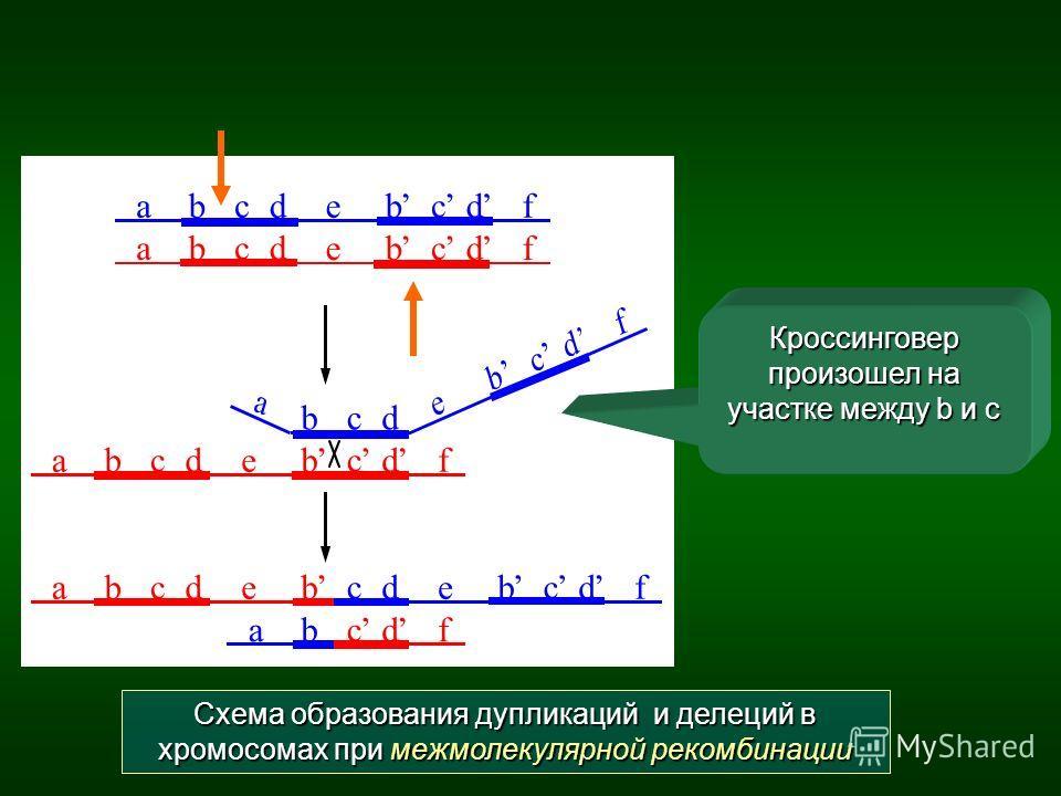 Схема образования дупликаций и делеций в хромосомах при межмолекулярной рекомбинации Кроссинговер произошел на участке между b и c