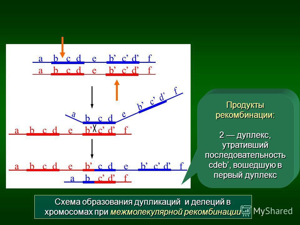 Схема образования дупликаций и делеций в хромосомах при межмолекулярной рекомбинации Продукты рекомбинации: 2 дуплекс, утративший последовательность cdeb, вошедшую в первый дуплекс