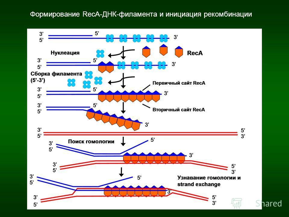 Формирование RecA-ДНК-филамента и инициация рекомбинации