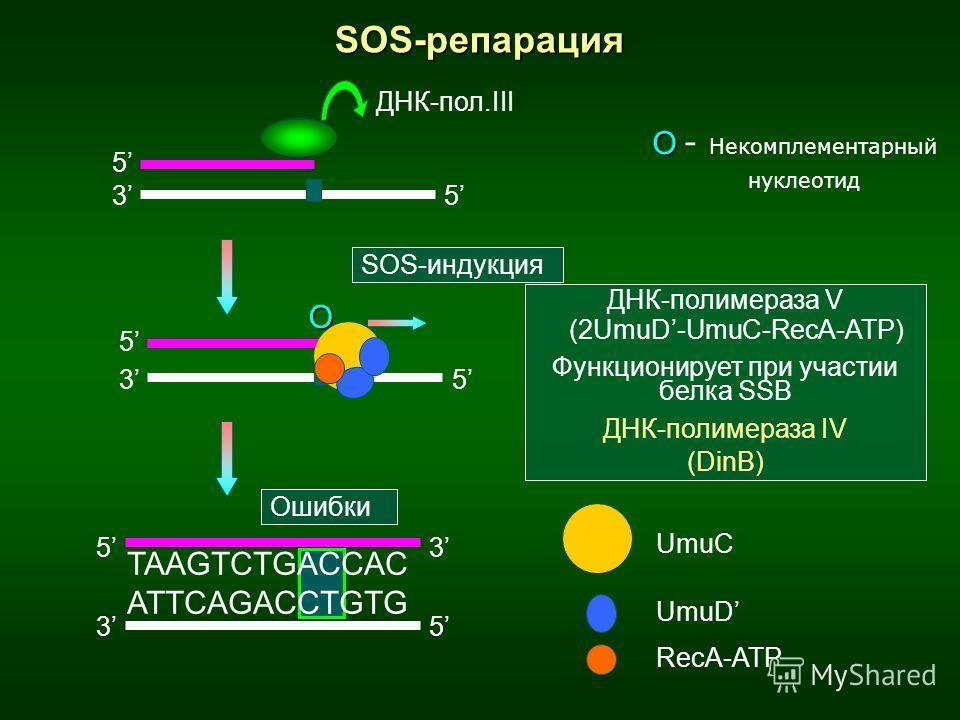 SOS-репарация 3 5 5 3 5 5 О SOS-индукция О О - Некомплементарный нуклеотид ДНК-полимераза V (2UmuD-UmuC-RecA-ATP) Функционирует при участии белка SSB ДНК-полимераза IV (DinB) ДНК-пол.III 53 35 TAAGTCTGACCAC ATTCAGACCTGTG Ошибки UmuC UmuD RecA-ATP