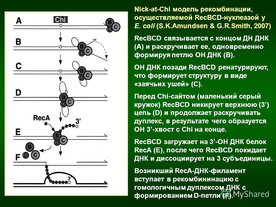 Nick-at-Chi модель рекомбинации, осуществляемой RecBCD-нуклеазой у E. coli (S.K.Amundsen & G.R.Smith, 2007) RecBCD связывается с концом ДН ДНК (А) и раскручивает ее, одновременно формируя петлю ОН ДНК (В). ОН ДНК позади RecBCD ренатурируют, что форми