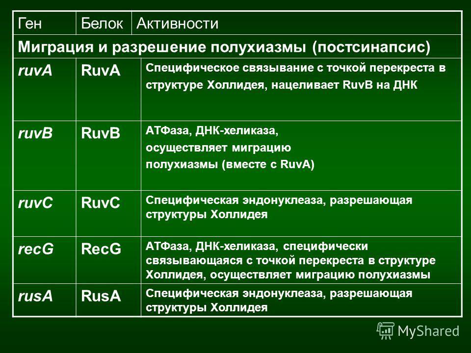 ГенБелокАктивности Миграция и разрешение полухиазмы (постсинапсис) ruvARuvA Специфическое связывание с точкой перекреста в структуре Холлидея, нацеливает RuvB на ДНК ruvBRuvB АТФаза, ДНК-хеликаза, осуществляет миграцию полухиазмы (вместе с RuvA) ruvC