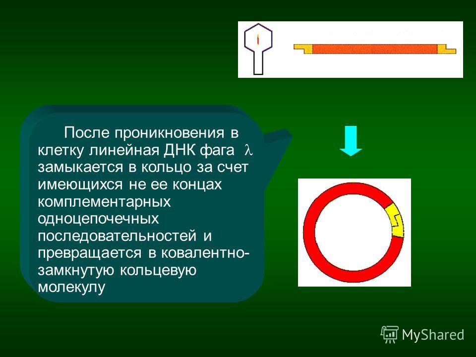 После проникновения в клетку линейная ДНК фага замыкается в кольцо за счет имеющихся не ее концах комплементарных одноцепочечных последовательностей и превращается в ковалентно- замкнутую кольцевую молекулу