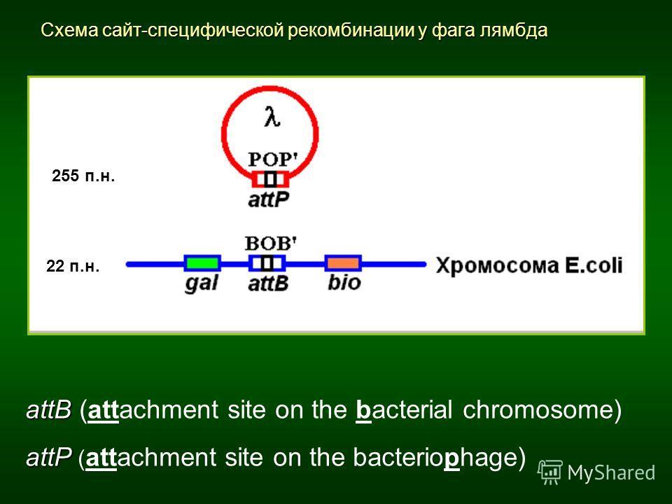 Схема сайт-специфической рекомбинации у фага лямбда attB attB (attachment site on the bacterial chromosome) attP attP ( attachment site on the bacteriophage) 22 п.н. 255 п.н.