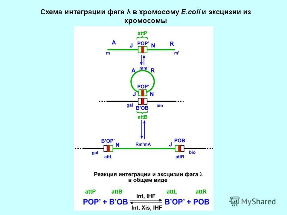 Схема интеграции фага λ в хромосому Е.coli и эксцизии из хромосомы