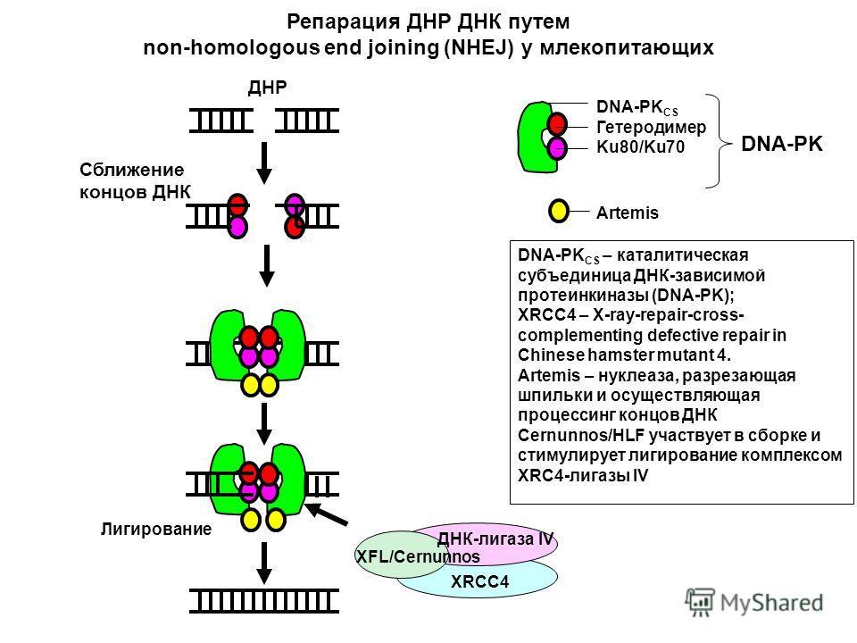 DNA-PK CS Гетеродимер Ku80/Ku70 Artemis Лигирование DNA-PK CS – каталитическая субъединица ДНК-зависимой протеинкиназы (DNA-PK); XRCC4 – X-ray-repair-cross- complementing defective repair in Chinese hamster mutant 4. Artemis – нуклеаза, разрезающая ш