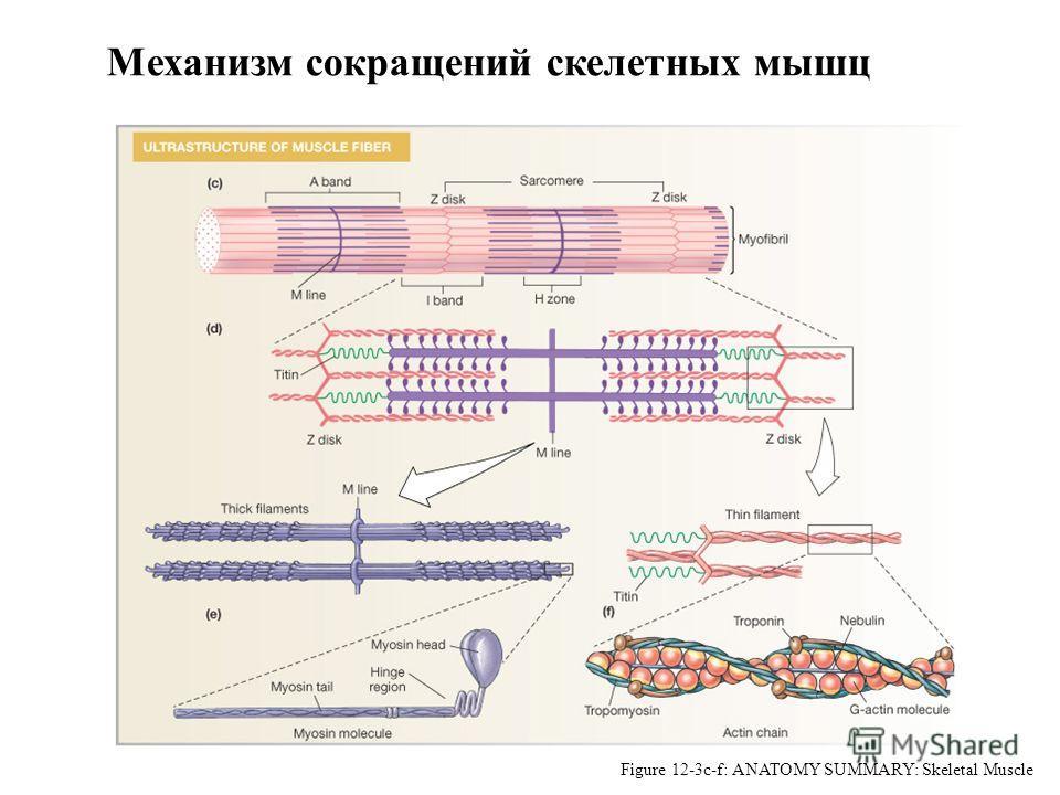 Myofibrils: Site of Contraction Figure 12-3c-f: ANATOMY SUMMARY: Skeletal Muscle Механизм сокращений скелетных мышц