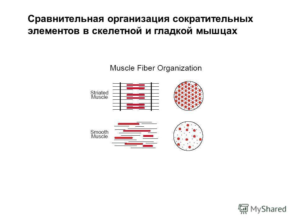 Сравнительная организация сократительных элементов в скелетной и гладкой мышцах