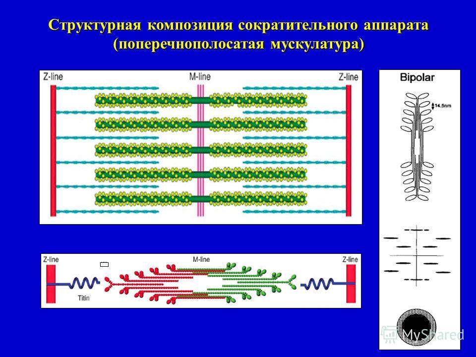 Структурная композиция сократительного аппарата (поперечнополосатая мускулатура)