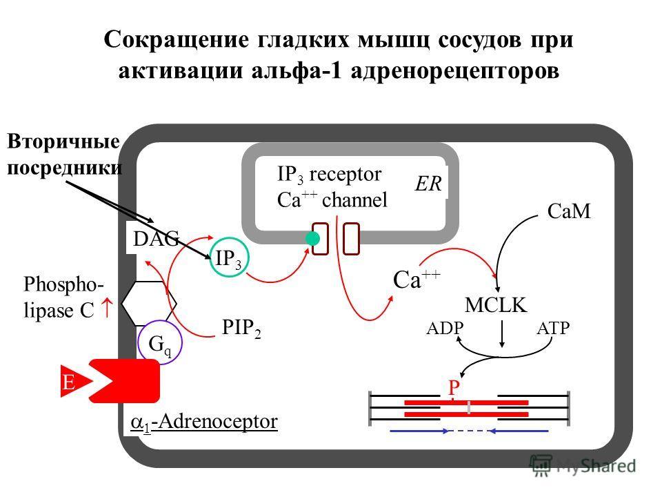 -Adrenoceptor Phospho- lipase C Ca ++ MCLK CaM ATPADP P IP 3 DAG PIP 2 ER IP 3 receptor Ca ++ channel GqGq E Сокращение гладких мышц сосудов при активации альфа-1 адренорецепторов Вторичные посредники