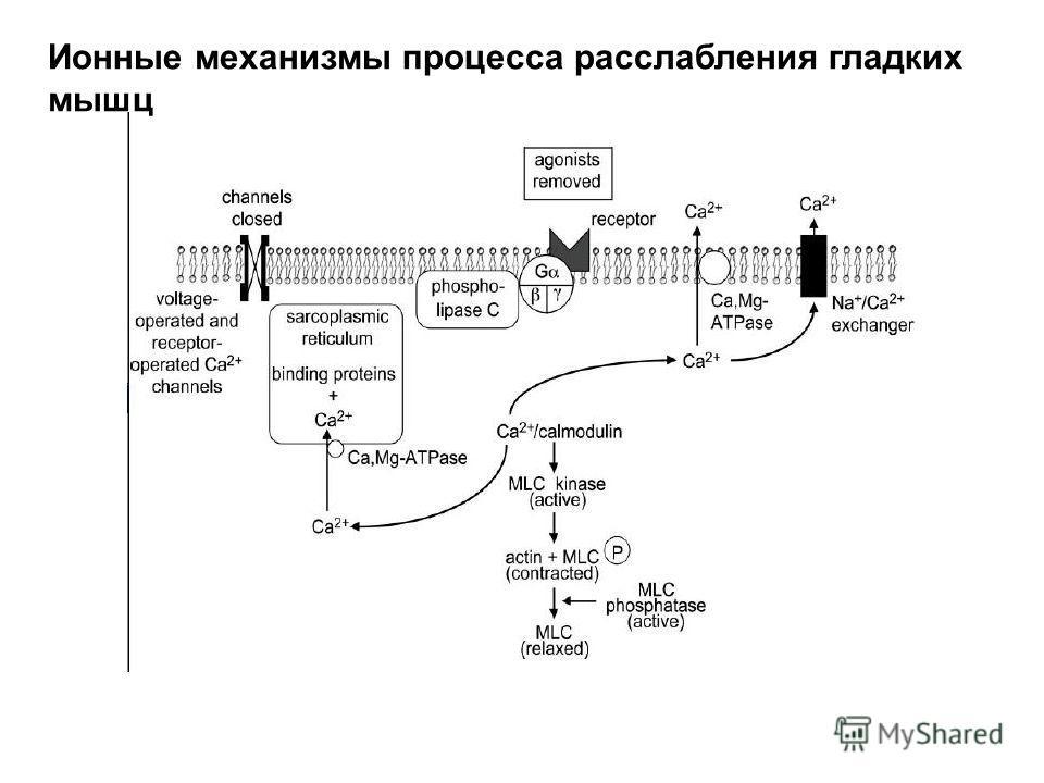 Ионные механизмы процесса расслабления гладких мышц