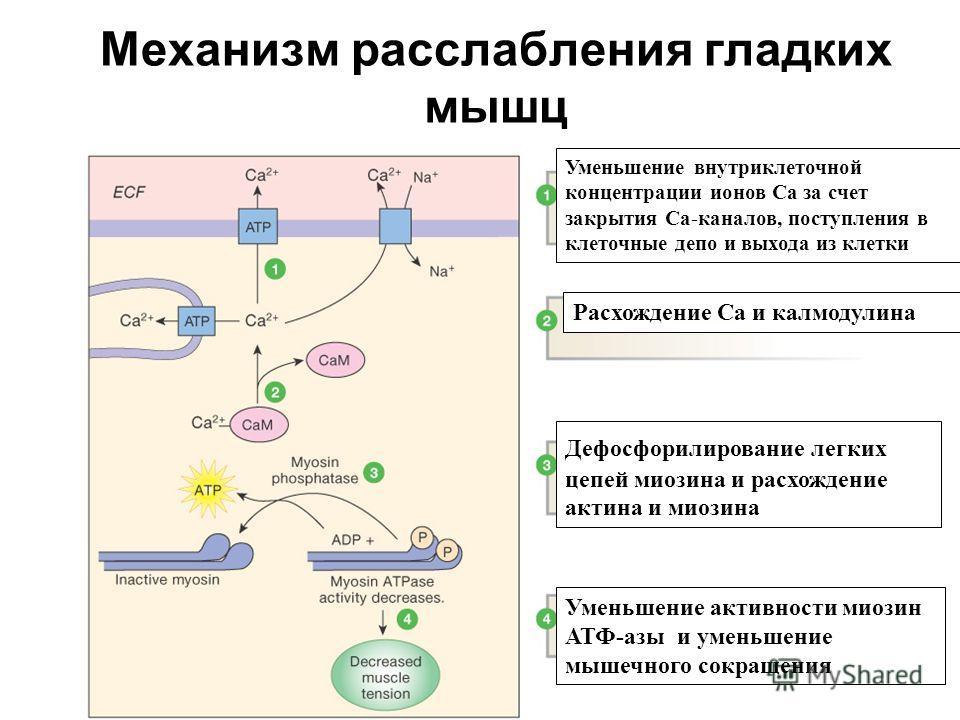 Механизм расслабления гладких мышц Figure 12-29: Relaxation in smooth muscle Уменьшение внутриклеточной концентрации ионов Са за счет закрытия Са-каналов, поступления в клеточные депо и выхода из клетки Расхождение Са и калмодулина Дефосфорилирование