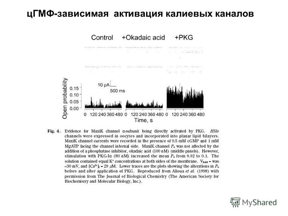 цГМФ-зависимая активация калиевых каналов