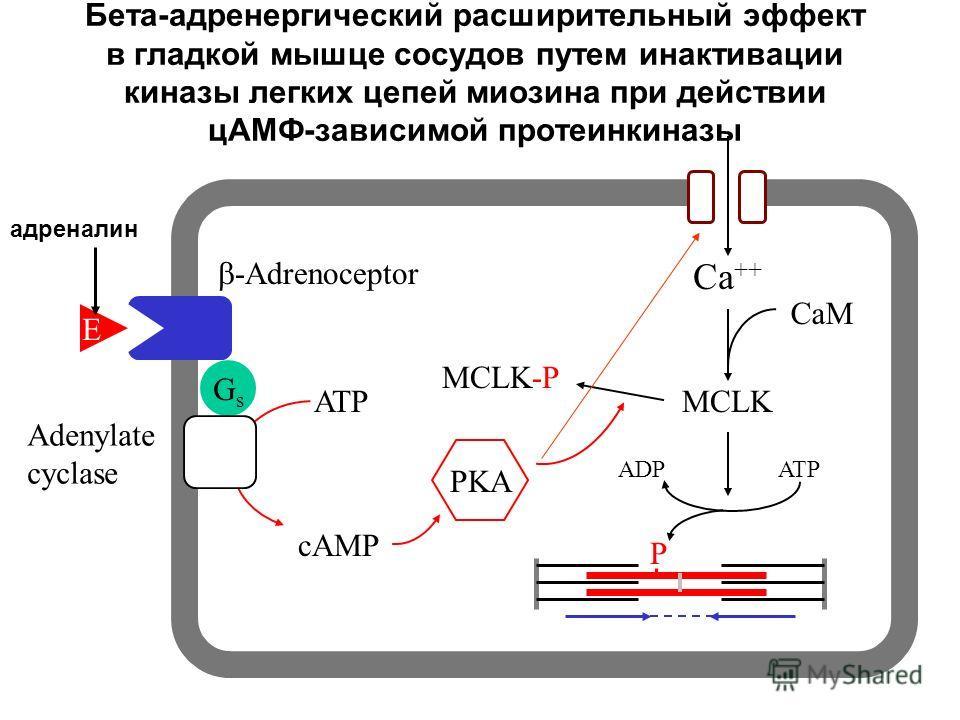 Бета-адренергический расширительный эффект в гладкой мышце сосудов путем инактивации киназы легких цепей миозина при действии цАМФ-зависимой протеинкиназы GsGs E -Adrenoceptor Adenylate cyclase ATP cAMP PKA Ca ++ MCLK CaM ATPADP MCLK-P P адреналин