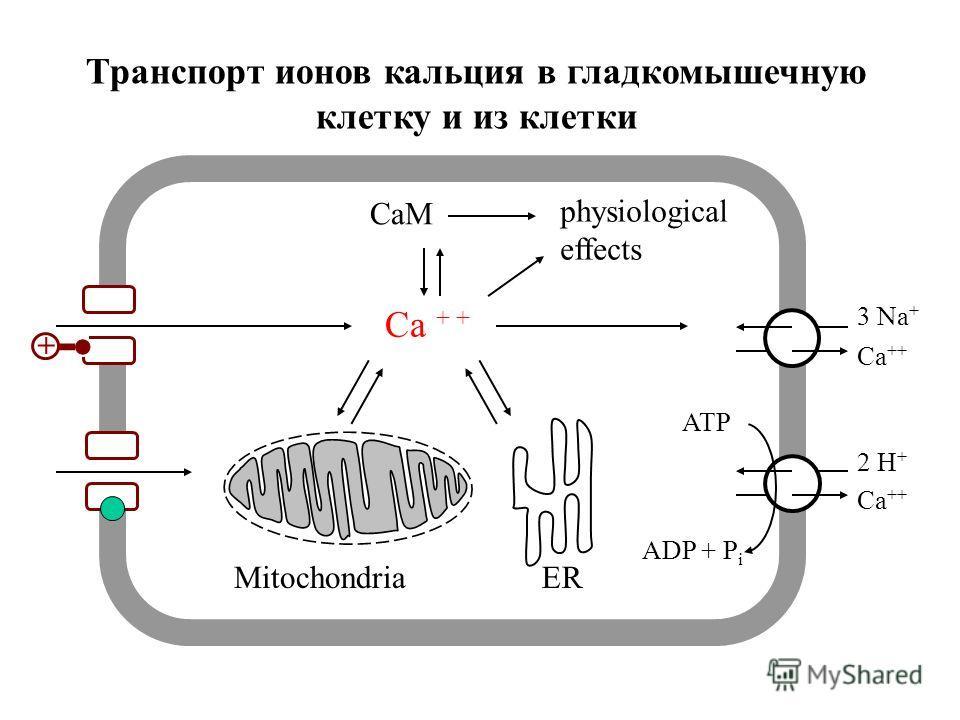 Cellular calcium transport 3 Na + Ca ++ + 2 H + ADP + P i ATP Ca ++ CaM physiological effects MitochondriaER Транспорт ионов кальция в гладкомышечную клетку и из клетки