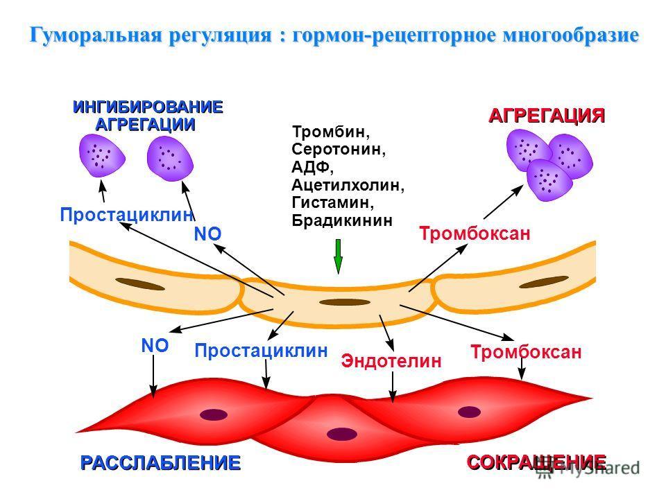 Гуморальная регуляция : гормон-рецепторное многообразие
