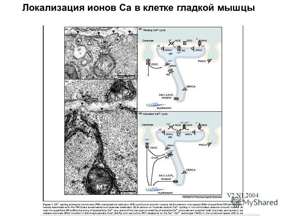 Локализация ионов Са в клетке гладкой мышцы V2,N1,2004