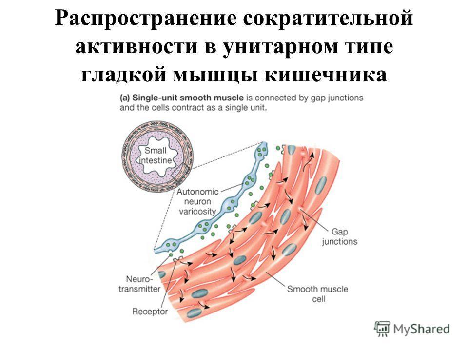 Распространение сократительной активности в унитарном типе гладкой мышцы кишечника Figure 12-25a: Types of smooth muscle