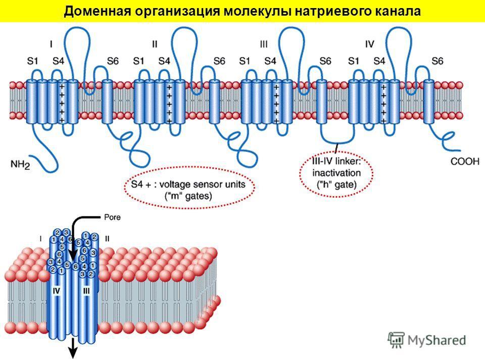 Доменная организация молекулы натриевого канала