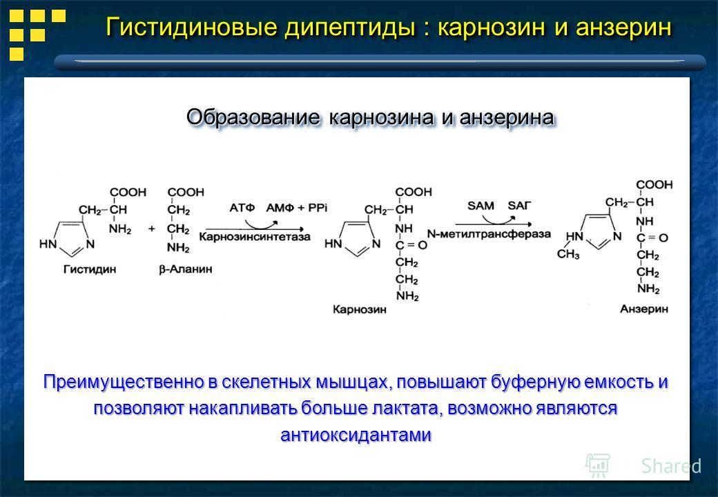 Гистидиновые дипептиды : карнозин и анзерин Образование карнозина и анзерина Преимущественно в скелетных мышцах, повышают буферную емкость и позволяют накапливать больше лактата, возможно являются антиоксидантами