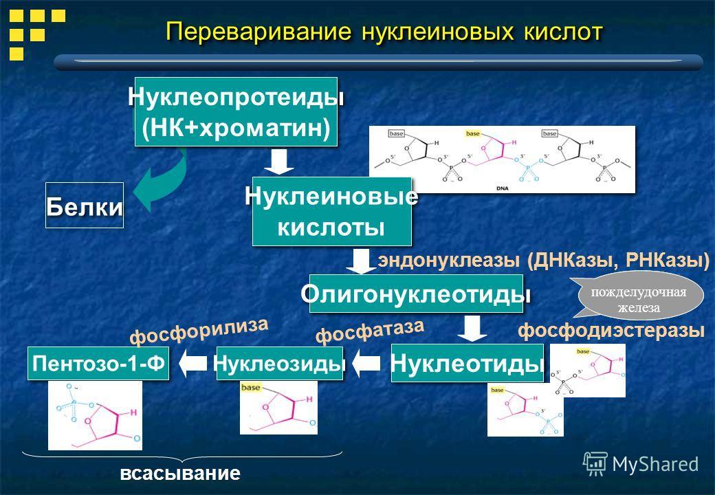 Нуклеотиды Переваривание нуклеиновых кислот Нуклеопротеиды (НК+хроматин) Нуклеопротеиды (НК+хроматин) эндонуклеазы (ДНКазы, РНКазы) Белки Нуклеиновые кислоты Нуклеиновые кислоты пожделудочная железа Олигонуклеотиды фосфодиэстеразы Нуклеозиды Пентозо-
