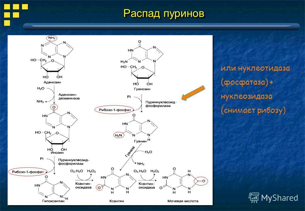 Распад пуринов или нуклеотидаза (фосфатаза) + нуклеозидаза (снимает рибозу)