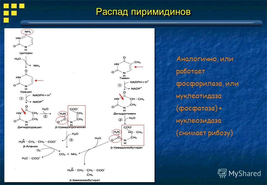Распад пиримидинов Аналогично, или работает фосфорилаза, или нуклеотидаза (фосфатаза) + нуклеозидаза (снимает рибозу)
