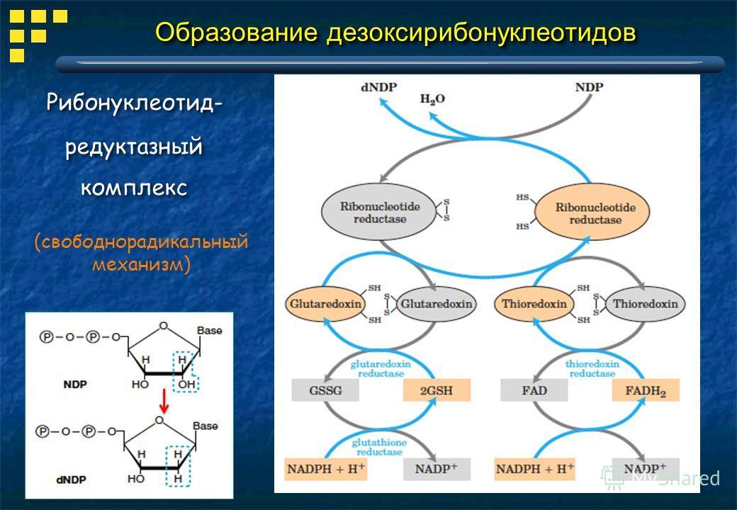 Образование дезоксирибонуклеотидов Рибонуклеотид- редуктазный комплекс Рибонуклеотид- редуктазный комплекс (свободнорадикальный механизм)