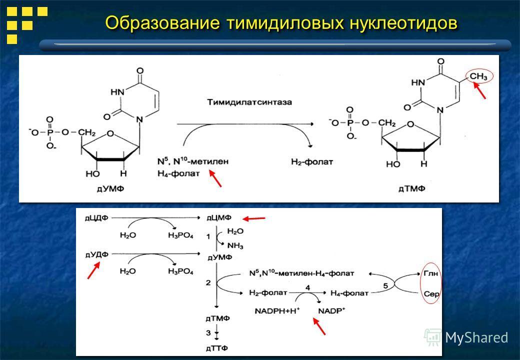 Образование тимидиловых нуклеотидов