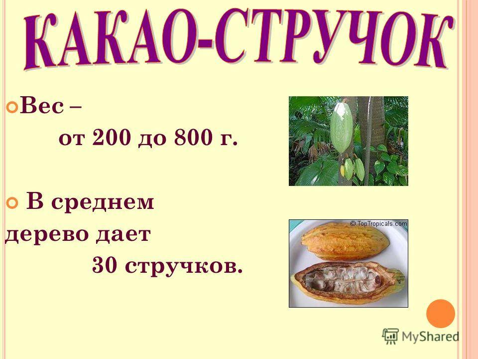 Вес – от 200 до 800 г. В среднем дерево дает 30 стручков.