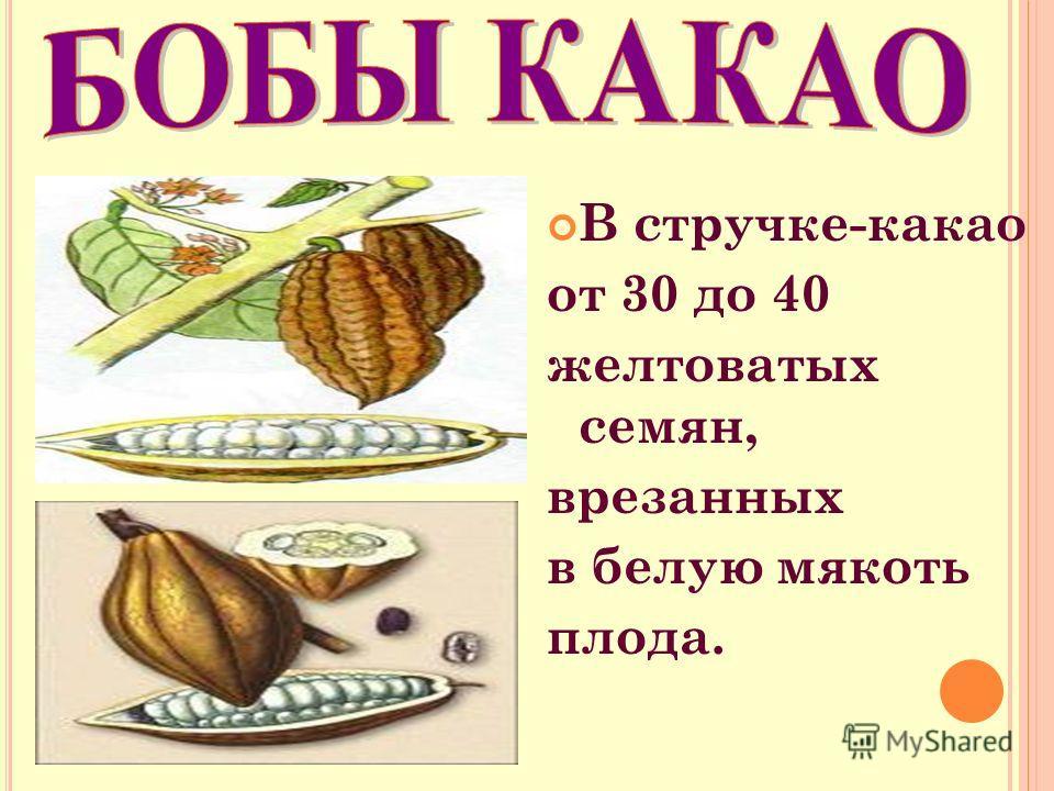 В стручке-какао от 30 до 40 желтоватых семян, врезанных в белую мякоть плода.