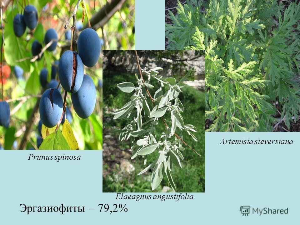 Эргазиофиты – 79,2% Prunus spinosa Artemisia sieversiana Elaeagnus angustifolia