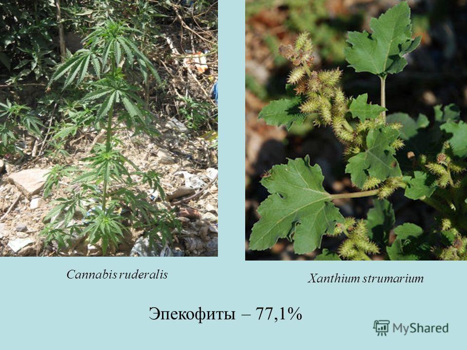 Эпекофиты – 77,1% Xanthium strumarium Cannabis ruderalis