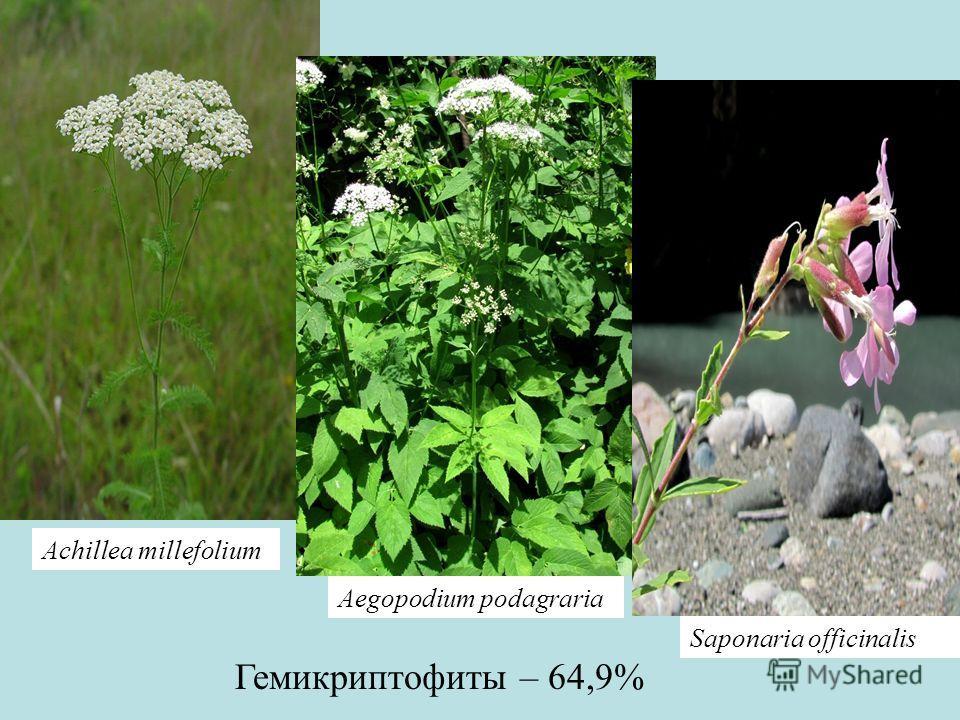 Гемикриптофиты – 64,9% Achillea millefolium Saponaria officinalis Aegopodium podagraria
