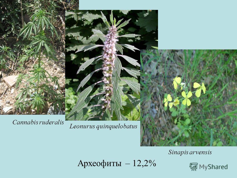 Археофиты – 12,2% Cannabis ruderalis Leonurus quinquelobatus Sinapis arvensis