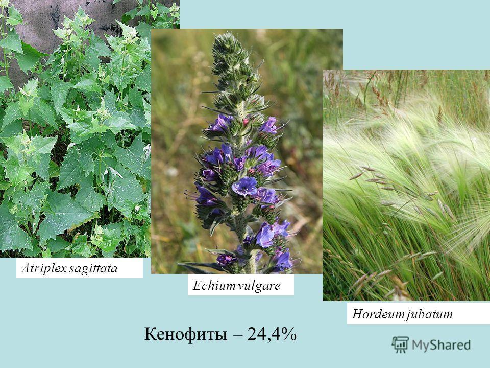 Кенофиты – 24,4% Atriplex sagittata Hordeum jubatum Echium vulgare