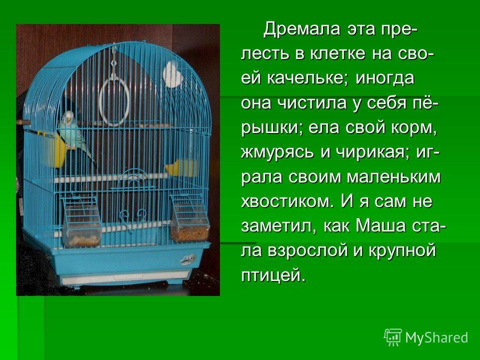 Дремала эта пре- Дремала эта пре- лесть в клетке на сво- ей качельке; иногда она чистила у себя пё- рышки; ела свой корм, жмурясь и чирикая; иг- рала своим маленьким хвостиком. И я сам не заметил, как Маша ста- ла взрослой и крупной птицей.