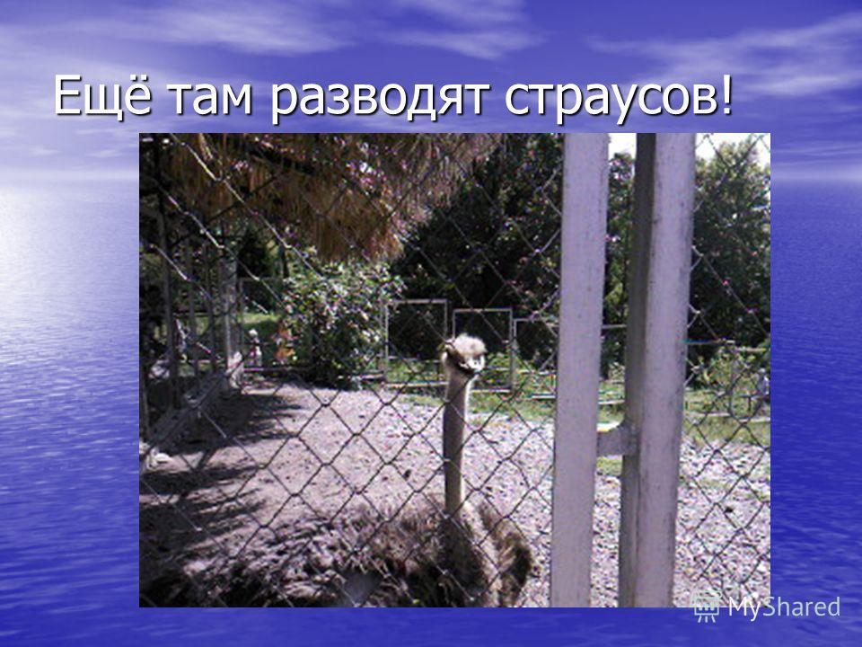 Ещё там разводят страусов!