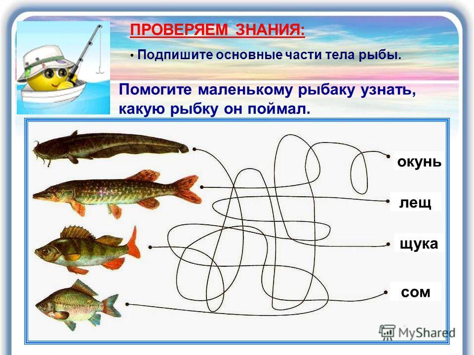 Помогите маленькому рыбаку узнать, какую рыбку он поймал. ПРОВЕРЯЕМ ЗНАНИЯ: Подпишите основные части тела рыбы. окунь лещ щука сом
