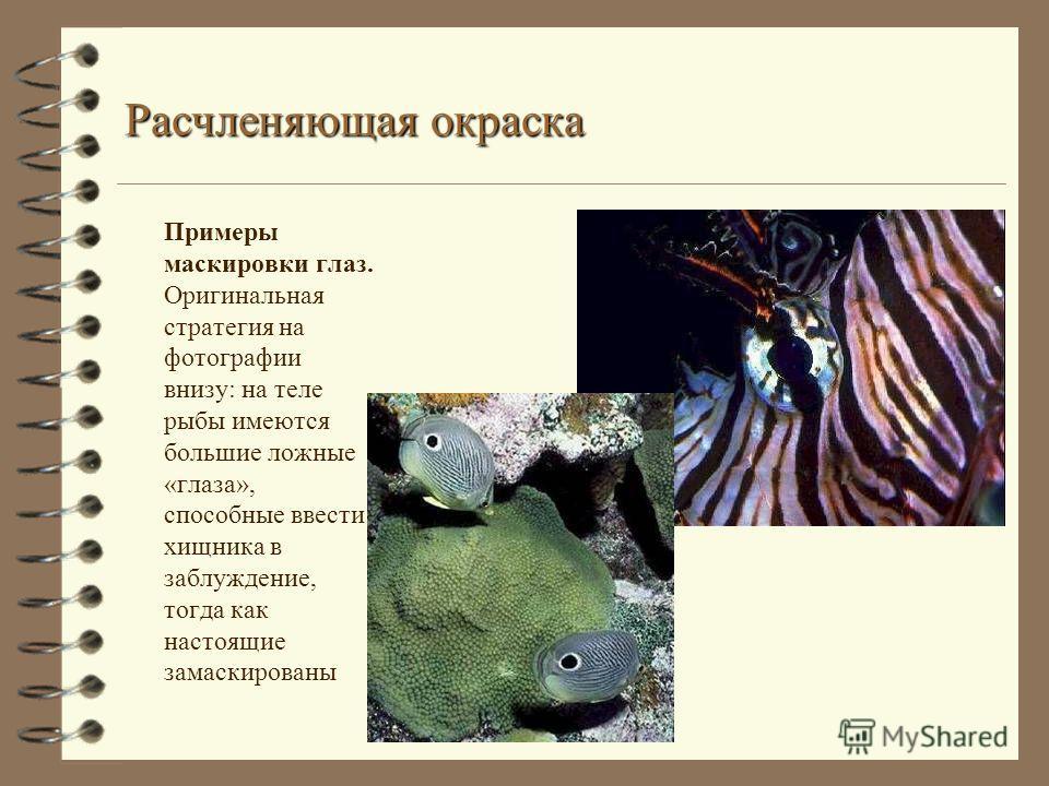 Расчленяющая окраска Примеры маскировки глаз. Оригинальная стратегия на фотографии внизу: на теле рыбы имеются большие ложные «глаза», способные ввести хищника в заблуждение, тогда как настоящие замаскированы