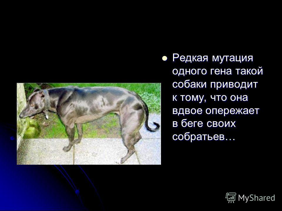 Редкая мутация одного гена такой собаки приводит к тому, что она вдвое опережает в беге своих собратьев… Редкая мутация одного гена такой собаки приводит к тому, что она вдвое опережает в беге своих собратьев…