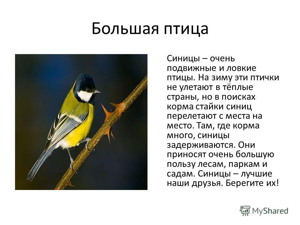 Большая птица Синицы – очень подвижные и ловкие птицы. На зиму эти птички не улетают в тёплые страны, но в поисках корма стайки синиц перелетают с места на место. Там, где корма много, синицы задерживаются. Они приносят очень большую пользу лесам, па