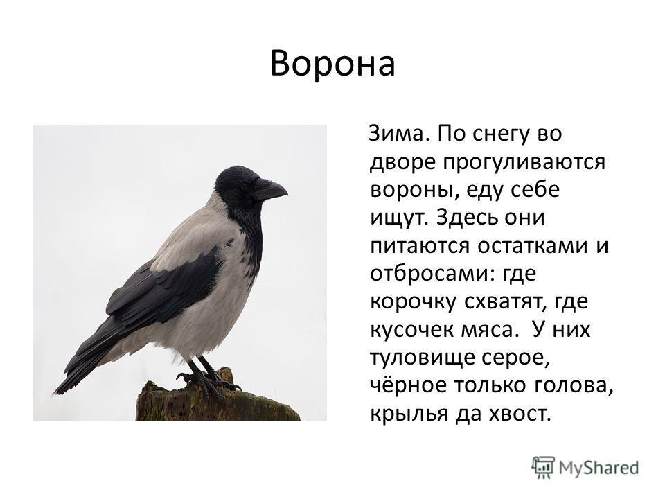 Ворона Зима. По снегу во дворе прогуливаются вороны, еду себе ищут. Здесь они питаются остатками и отбросами: где корочку схватят, где кусочек мяса. У них туловище серое, чёрное только голова, крылья да хвост.