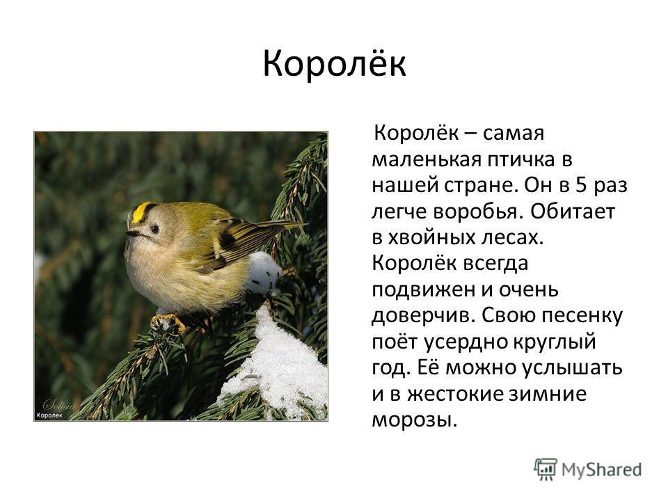 Королёк Королёк – самая маленькая птичка в нашей стране. Он в 5 раз легче воробья. Обитает в хвойных лесах. Королёк всегда подвижен и очень доверчив. Свою песенку поёт усердно круглый год. Её можно услышать и в жестокие зимние морозы.