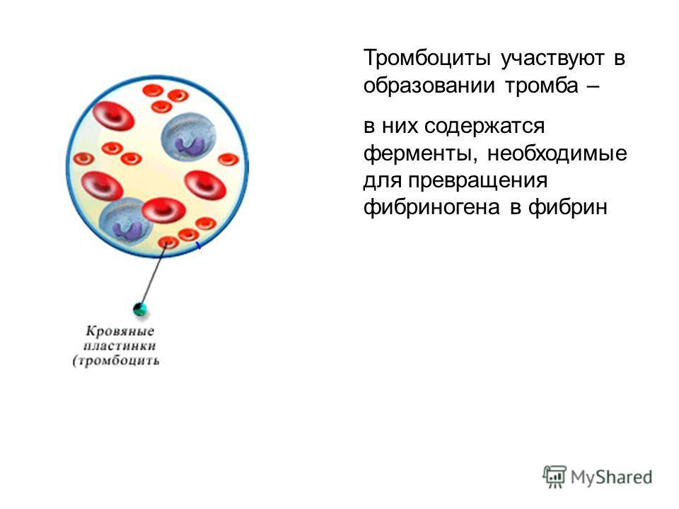 Тромбоциты участвуют в образовании тромба – в них содержатся ферменты, необходимые для превращения фибриногена в фибрин