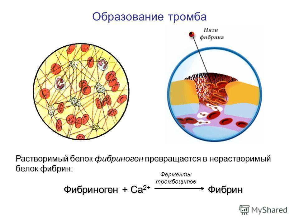 Образование тромба Растворимый белок фибриноген превращается в нерастворимый белок фибрин: Фибриноген + Са2+ Ф Фибрин Ферменты тромбоцитов
