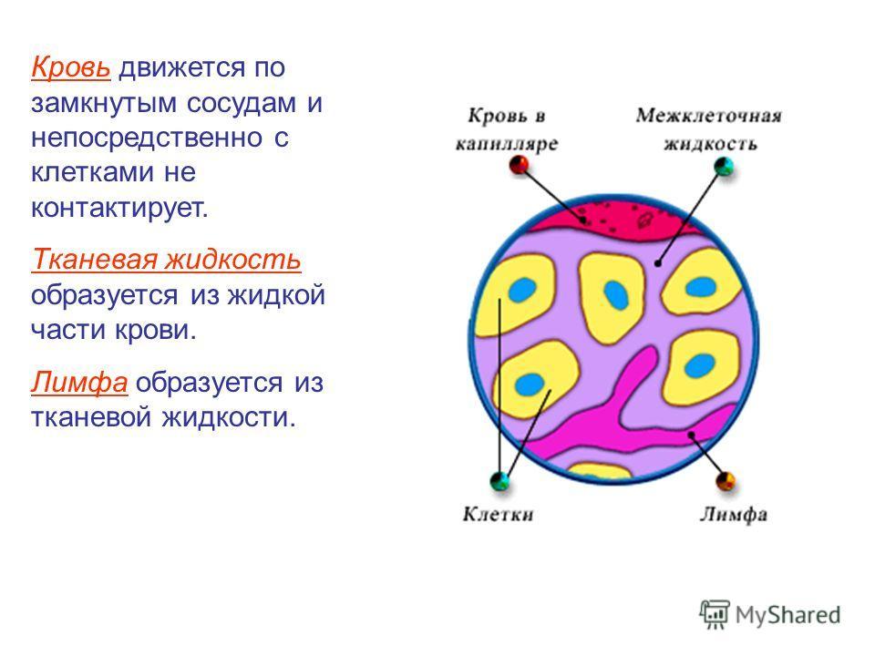 Кровь движется по замкнутым сосудам и непосредственно с клетками не контактирует. Тканевая жидкость образуется из жидкой части крови. Лимфа образуется из тканевой жидкости.