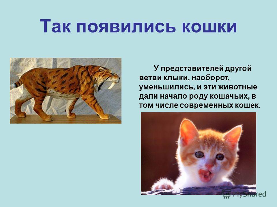 Так появились кошки У представителей другой ветви клыки, наоборот, уменьшились, и эти животные дали начало роду кошачьих, в том числе современных кошек.