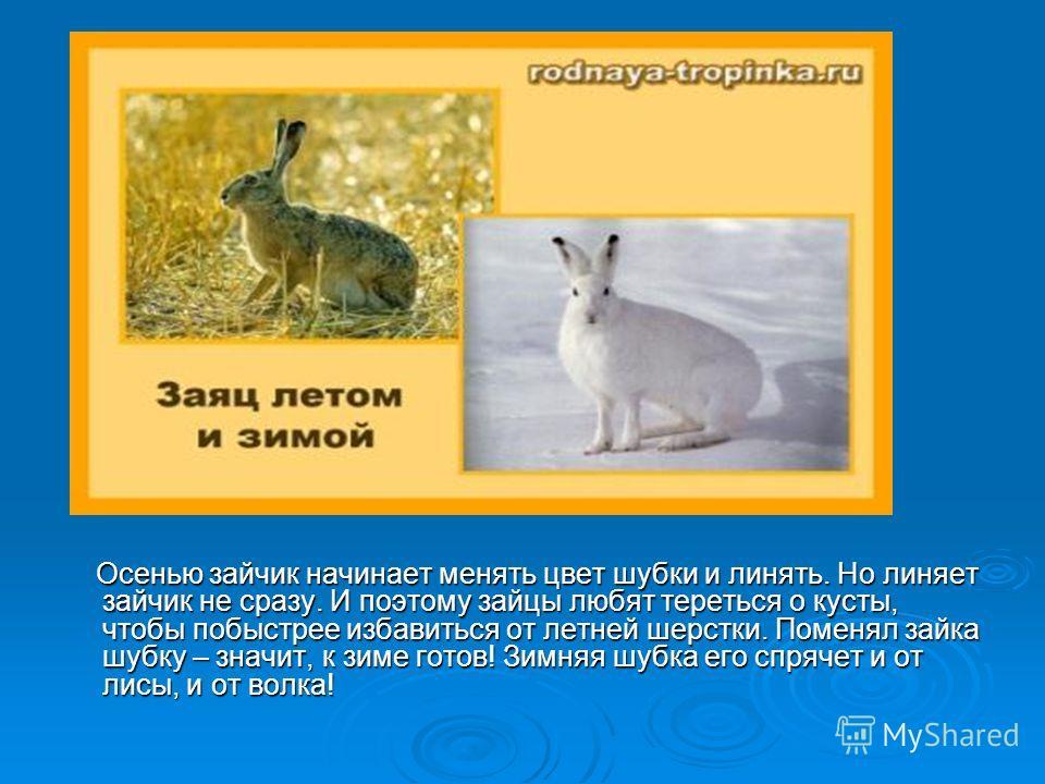 Осенью зайчик начинает менять цвет шубки и линять. Но линяет зайчик не сразу. И поэтому зайцы любят тереться о кусты, чтобы побыстрее избавиться от летней шерстки. Поменял зайка шубку – значит, к зиме готов! Зимняя шубка его спрячет и от лисы, и от в