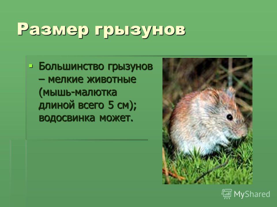 Размер грызунов Большинство грызунов – мелкие животные (мышь-малютка длиной всего 5 см); водосвинка может. Большинство грызунов – мелкие животные (мышь-малютка длиной всего 5 см); водосвинка может.